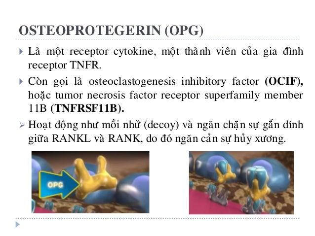 OSTEOPROTEGERIN (OPG)  Laø moät receptor cytokine, moät thaønh vieân cuûa gia ñình receptor TNFR.  Coøn goïi laø osteocl...
