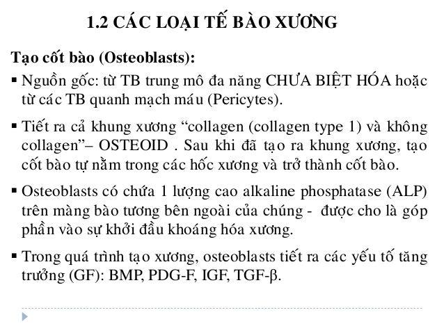 Taïo coát baøo (Osteoblasts):  Nguoàn goác: töø TB trung moâ ña naêng CHÖA BIEÄT HOÙA hoaëc töø caùc TB quanh maïch maùu ...