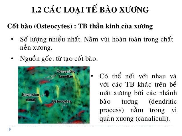 Coát baøo (Osteocytes) : TB thaàn kinh cuûa xöông • Soá löôïng nhieàu nhaát. Naèm vuøi hoaøn toaøn trong chaát neàn xöông....