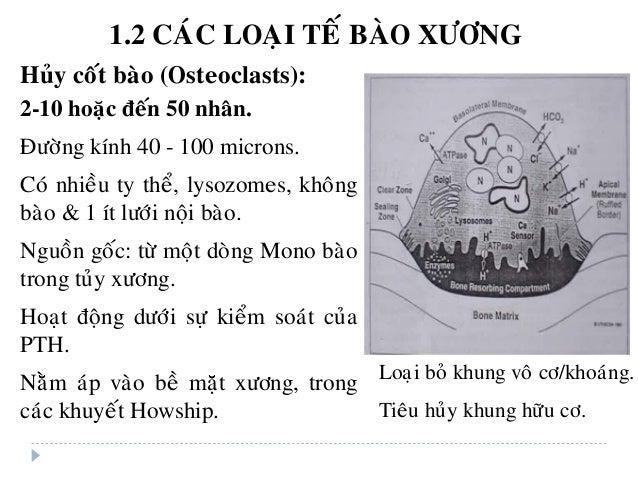 Huûy coát baøo (Osteoclasts): 2-10 hoaëc ñeán 50 nhaân. Ñöôøng kính 40 - 100 microns. Coù nhieàu ty theå, lysozomes, khoân...