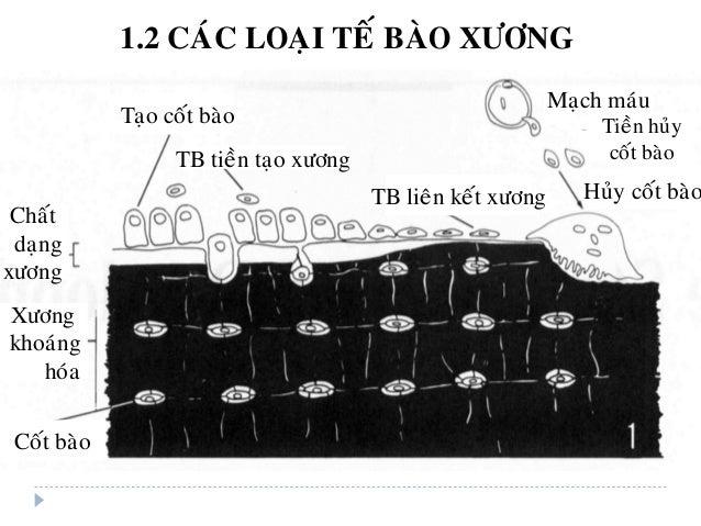 Maïch maùu Huûy coát baøo Taïo coát baøo Chaát daïng xöông Xöông khoaùng hoùa Coát baøo TB tieàn taïo xöông Tieàn huûy coá...