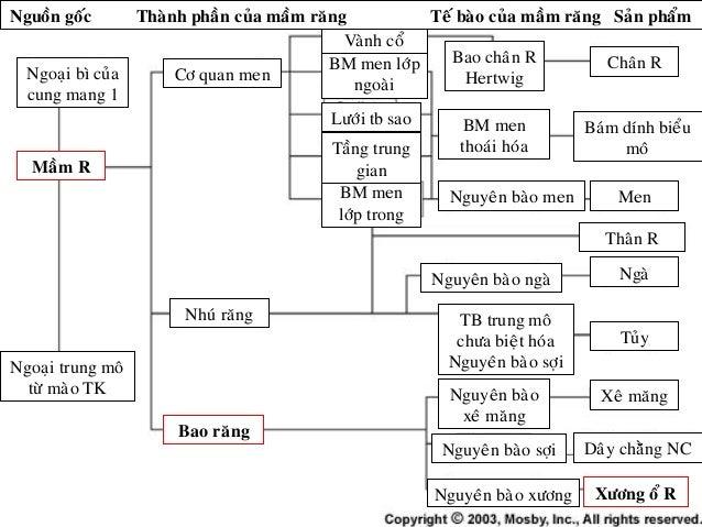 Ngoaïi bì cuûa cung mang 1 Maàm R Ngoaïi trung moâ töø maøo TK Cô quan men Nhuù raêng Bao raêng Chaân R Men Thaân R Ngaø T...