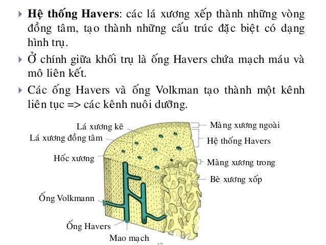 HOÁC XÖÔNG (Lacunae) Heä thoáng Havers LAÙ XÖÔNG (LAMELLA) OÁng Havers Coát baøo (naèm trong hoác xöông) Maïch maùu