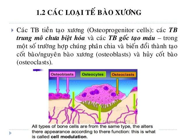  Caùc TB tieàn taïo xöông (Osteoprogenitor cells): caùc TB trung moâ chöa bieät hoùa vaø caùc TB goác taïo maùu – trong m...