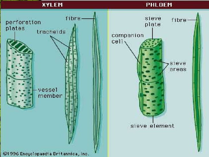 comparation pholem and xylem Xylem is autofluorescent and appears similar to the phloem xylem can be identified because of its characteristic secondary walls.