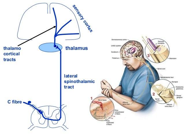 lateral spinothalamic tract thalamus sensorycortex C fibre thalamo cortical tracts