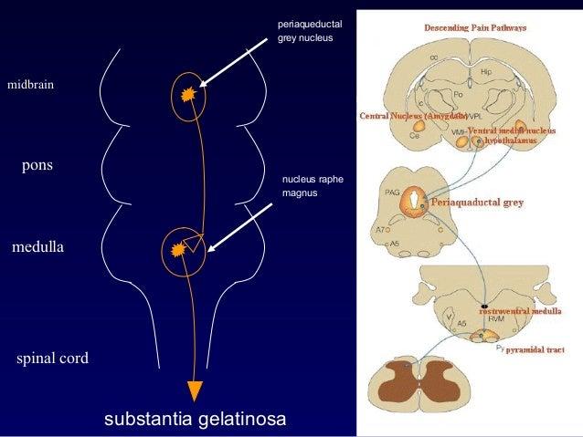 midbrain pons medulla spinal cord periaqueductal grey nucleus nucleus raphe magnus substantia gelatinosa