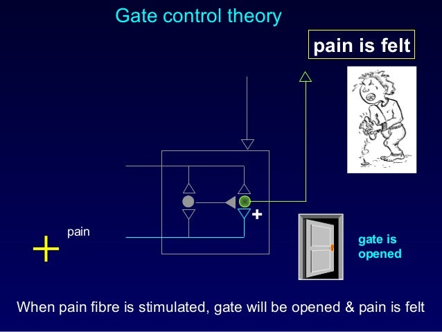 Gate control theory When pain fibre is stimulated, gate will be opened & pain is felt pain pain is felt + gate is opened