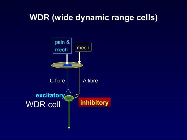 WDR cells • have been found in – Spinal cord – Trigeminal nucleus – Brain stem – Thalamus – Cortex