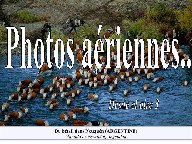 Du bétail dans Neuquén (ARGENTINE) Ganado en Neuquén, Argentina