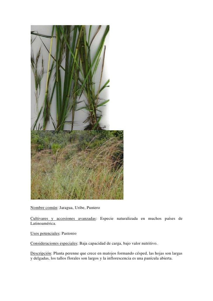 Nombre común: Jaragua, Uribe, Puntero<br />Cultivares y accesiones avanzadas: Especie naturalizada en muchos países de Lat...