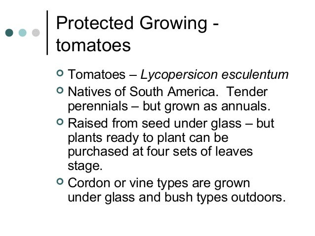 Protected Growing - tomatoes  Tomatoes – Lycopersicon esculentum  Natives of South America. Tender perennials – but grow...
