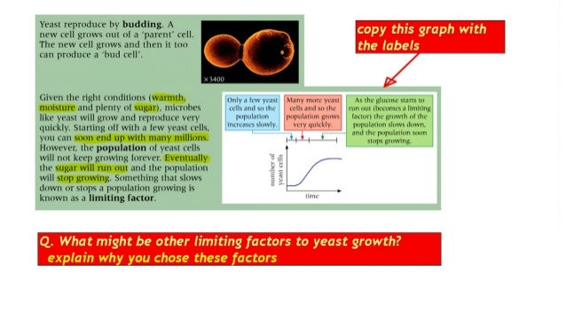 Yeast reproduce by budding.  A new cell grows out ol :1 'parent' cell.  The new cell grows and then it too  5'51?' l! I..5...