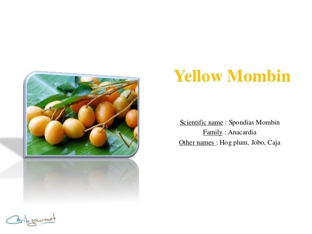 Yellow MombinScientific name : Spondias Mombin         Family : AnacardiaOther names : Hog plum, Jobo, Caja