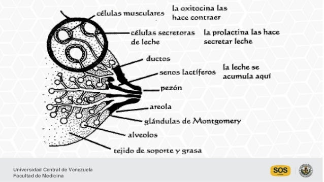 Anatomía y fisiología de la lactancia materna. Dr. José Soto