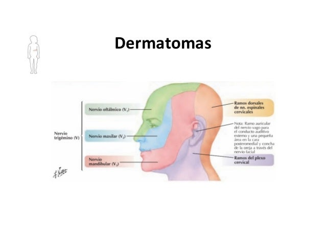Asombroso Dermatomas Cabeza Modelo - Anatomía de Las Imágenesdel ...