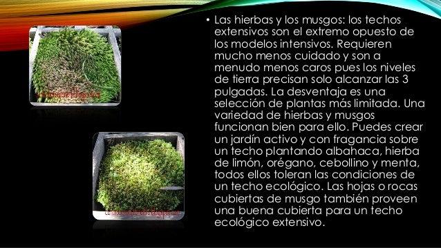 GRAMINEAS ORNAMENTALES Las gramíneas ornamentales, tales como la hierba perenne de fuente, la hierba de cinta o la hierba ...