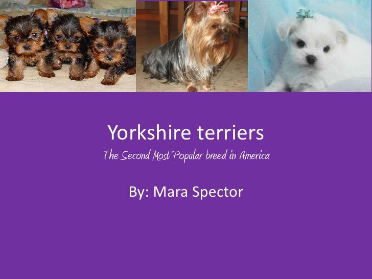 Yorkshire terriersThe Second Most Popular breed in America      By: Mara Spector