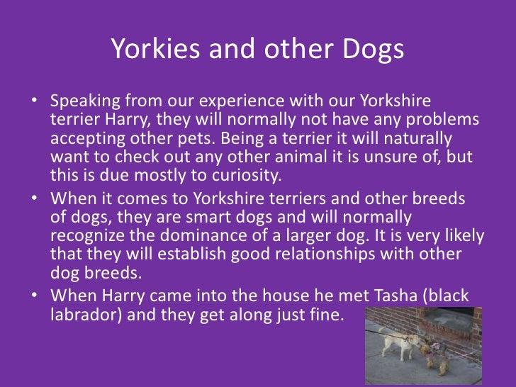 Awe Inspiring Yorkshire Terriers Short Hairstyles Gunalazisus