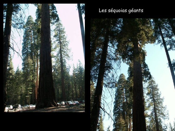 Les séquoias géants