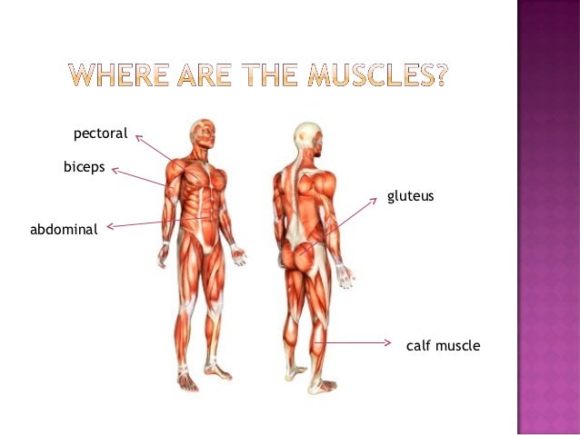 your body - bones, muscles and joints, Muscles