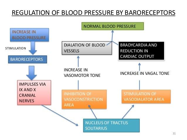 30 31 31 regulation of blood pressure by baroreceptors increase