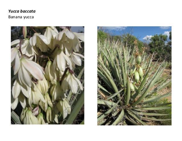 Yucca baccata Banana yucca