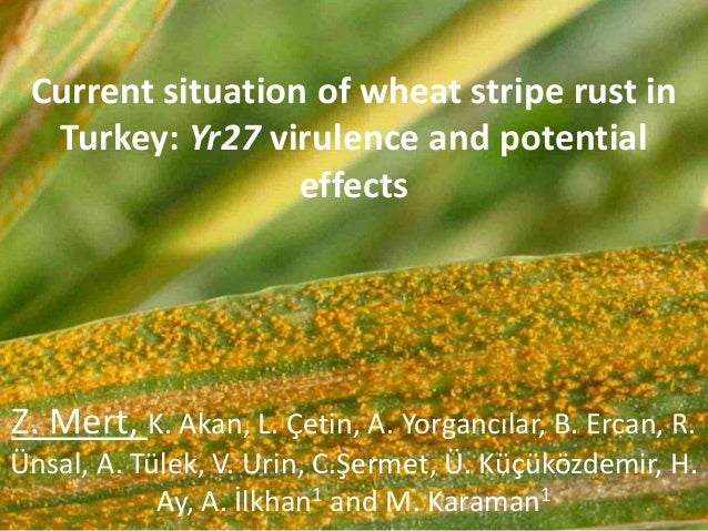 Current situation of wheat stripe rust in Turkey: Yr27 virulence and potential effects Z. Mert, K. Akan, L. Çetin, A. Yorg...