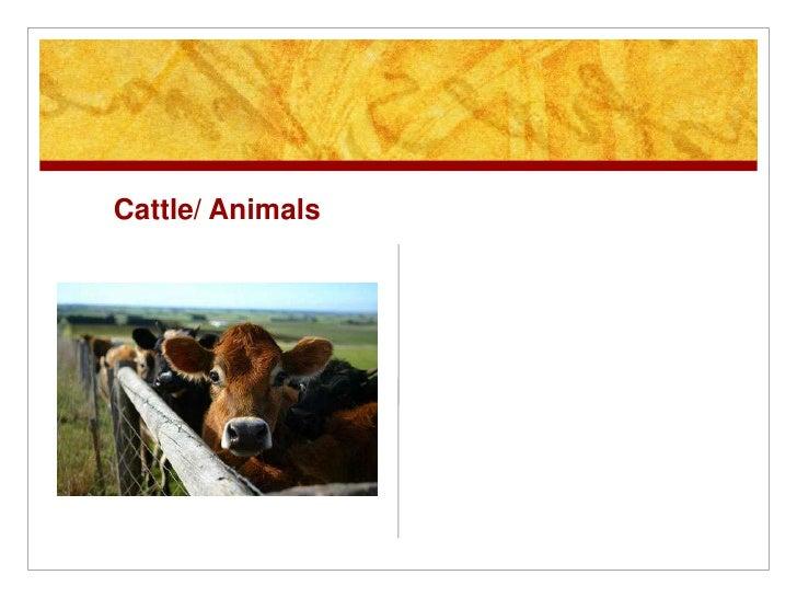 Cattle/ Animals<br />