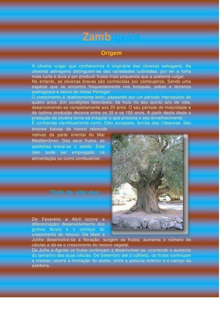 Zambujeiro<br />Origem<br />A oliveira vulgar que conhecemos é originária das oliveiras selvagens. As oliveiras selvagens ...
