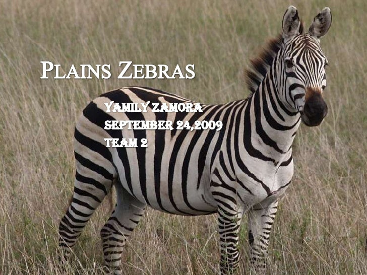 Plains Zebras<br />Yamily Zamora<br />September 24,2009<br />Team 2<br />