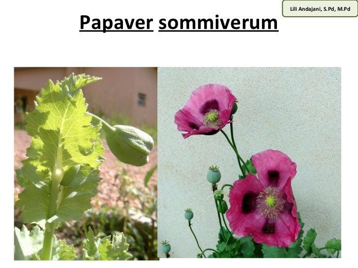 Lili Andajani, S.Pd, M.PdPapaver sommiverum
