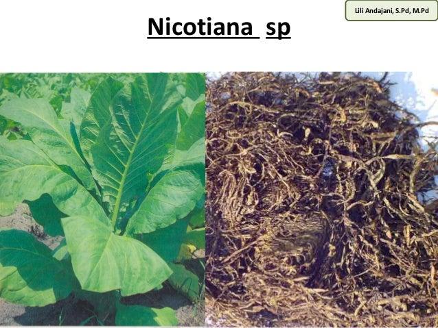 Lili Andajani, S.Pd, M.Pd Nicotiana sp