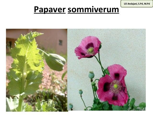 Lili Andajani, S.Pd, M.Pd Papaver sommiverum