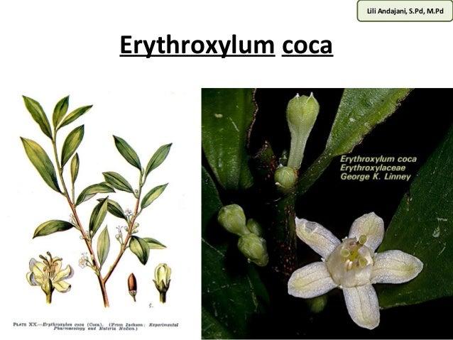 Lili Andajani, S.Pd, M.Pd  Erythroxylum coca