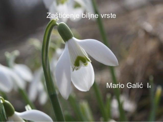 Zaštićenje biljne vrste  Mario Galić I4