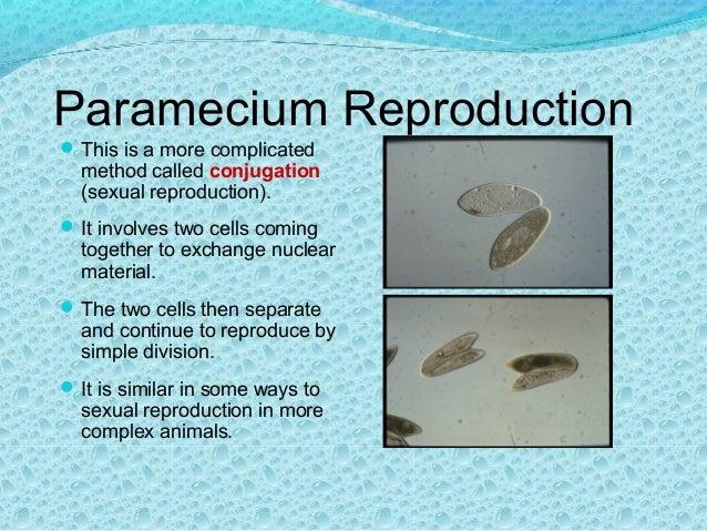 paramoecium reproduction