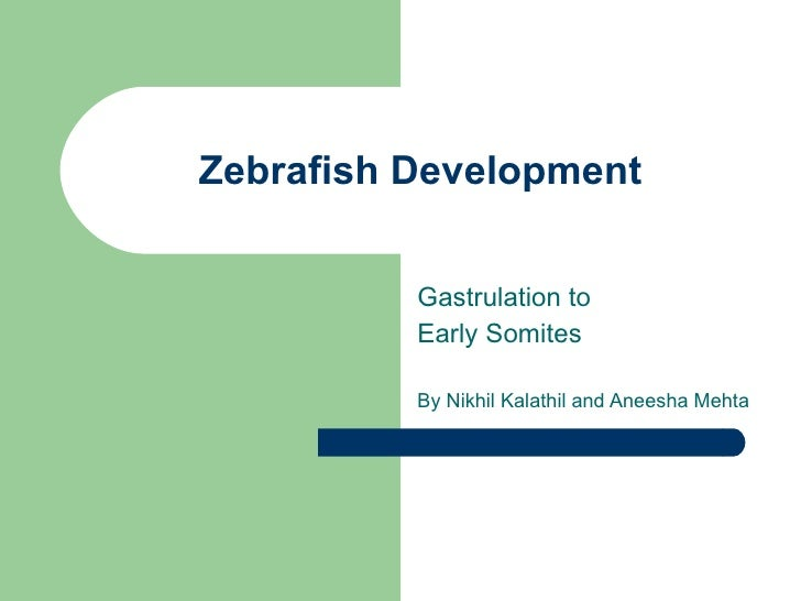 Zebrafish Development Gastrulation to  Early Somites By Nikhil Kalathil and Aneesha Mehta