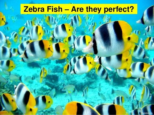 Zebra Fish – Are they perfect?