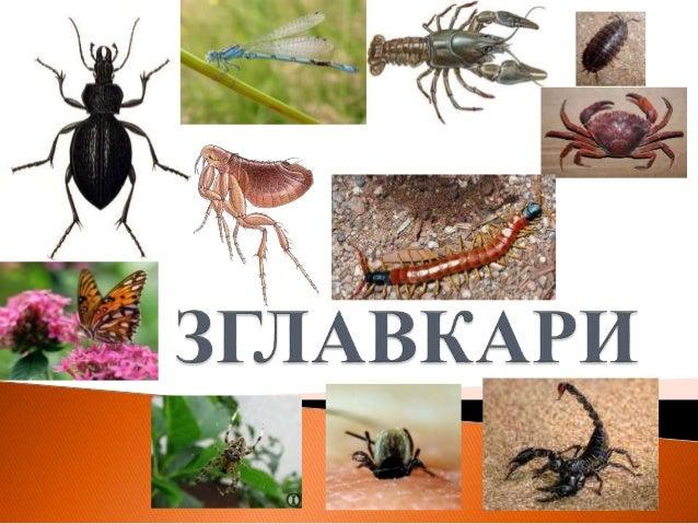  Добро развијена глава, тело издељено на чланке неједнаке величине → региони тела. Глава (cephalon) Груди (thorax) Трбух ...