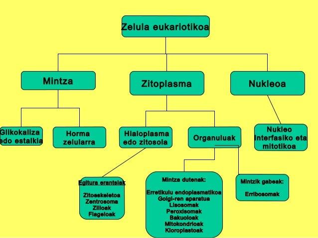 Zelula eukariotikoa Mintza NukleoaZitoplasma Glikokaliza edo estalkia Horma zelularra Hialoplasma edo zitosola Organuluak ...