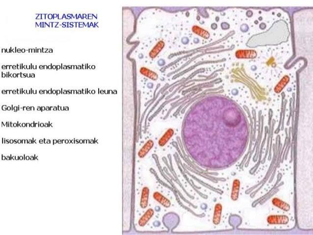 Erribosoma eukariotoa Erribosoma prokariotoa 80s 70s RNAr RNAr RNAr RNAr