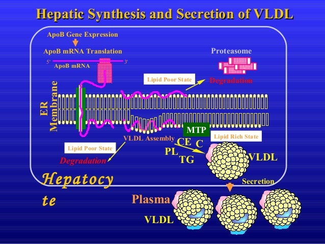 VLDL ApoB mRNA Translation Degradation ER Membrane 5' 3' ApoB mRNA VLDL Assembly Degradation Secretion MTP Proteasome Hepa...
