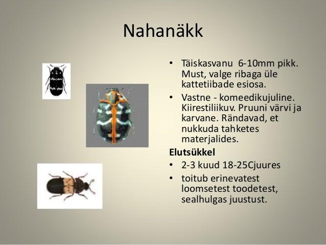 Nahanäkk • Täiskasvanu 6-10mm pikk. Must, valge ribaga üle kattetiibade esiosa. • Vastne - komeedikujuline. Kiirestiliikuv...