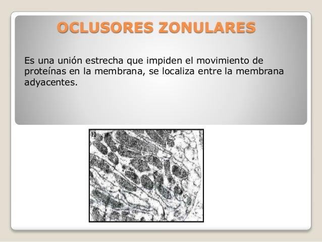 OCLUSORES ZONULARES  Es una unión estrecha que impiden el movimiento de  proteínas en la membrana, se localiza entre la me...