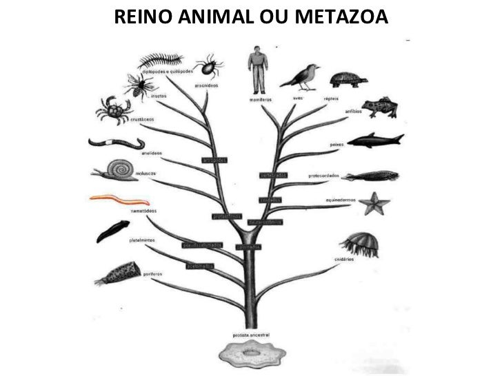 <ul><li>REINO ANIMAL OU METAZOA </li></ul>
