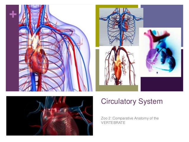 + Circulatory System Zoo 2 :Comparative Anatomy of the VERTEBRATE