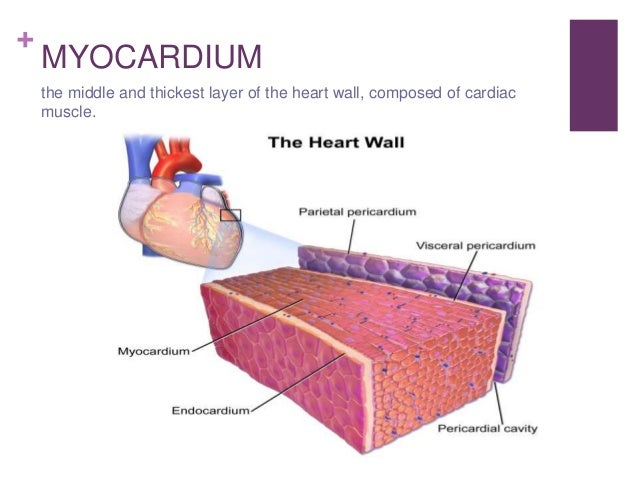 Circulatory system epicardium outer layer of the wall of the heart 24 ccuart Image collections