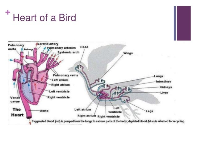 circulatory system rh slideshare net Bird Circulatory System Heart Bird Circulatory System Heart