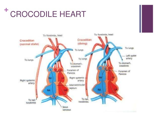 Circulatory System 46065001 on high blood pressure diagram